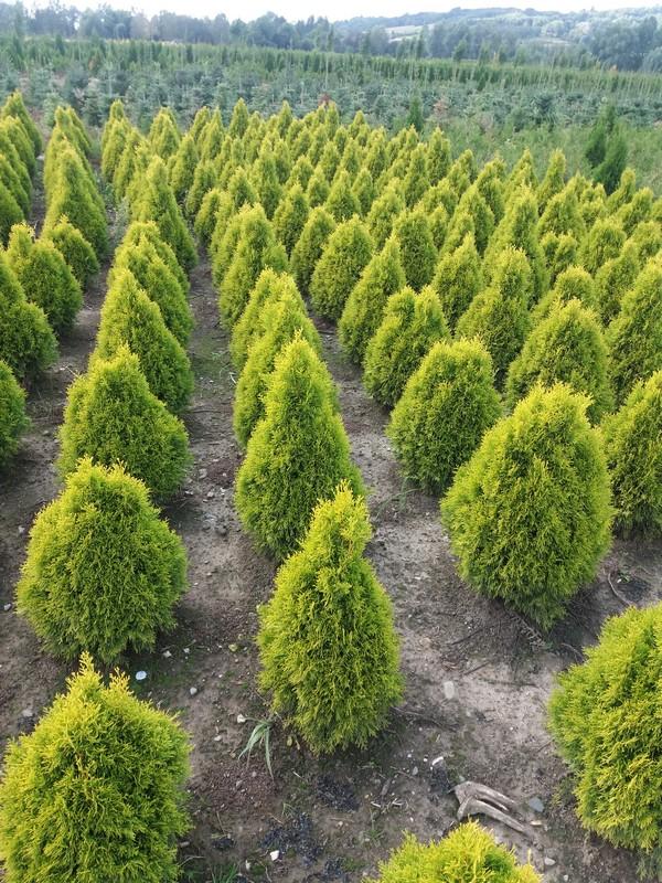 Szkółka Drzew i Krzewów Tyczyn Rzeszów Łańcut